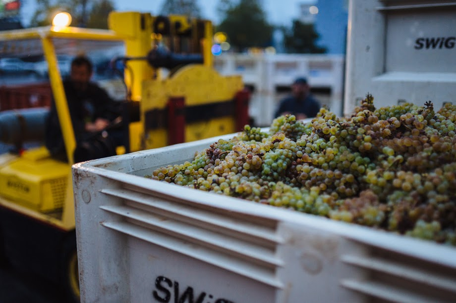 A bin of riesling grapes.